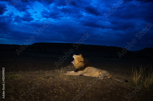 Photo  Male lion Scarface in Masai Mara