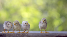 4 Yellow Baby Chicks On Wood Floor Behind Natural Blurred Background