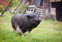 Funny Black A Pig In The Yard