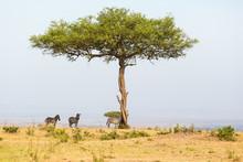 Solitary Tree On The Savannah ...