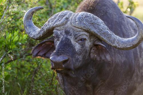 Keuken foto achterwand Buffel African buffalo with big horns in the bush