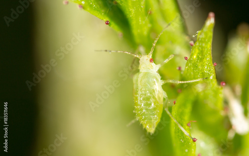 small aphid on a green leaf in the open air Canvas Print