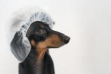 Cute Dog Dachshund, Black And ...