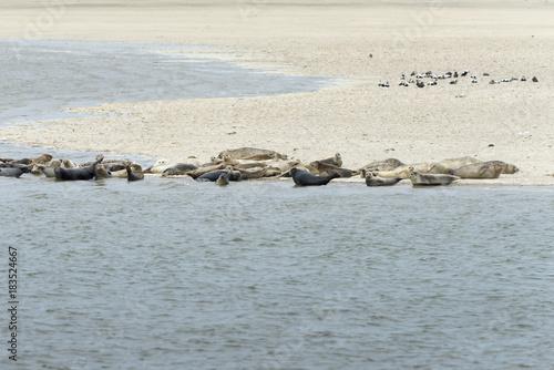 Fotografie, Obraz  Seehundebank auf der ostfriesischen Insel Langeoog.