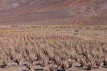 Organic Aloe Vera Succulent Pl...