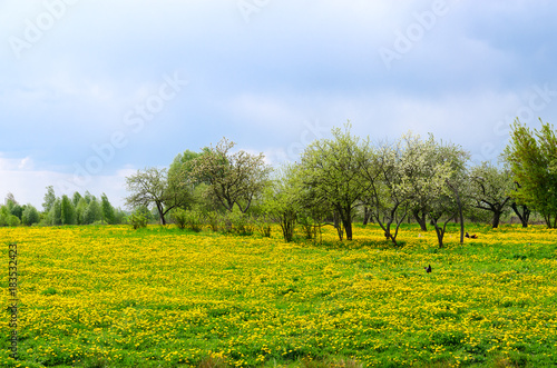Fotografering  May rural landscape with blossoming dandelions