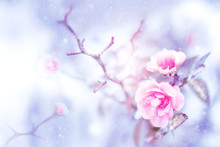 Beautiful Pink Roses In Snow A...