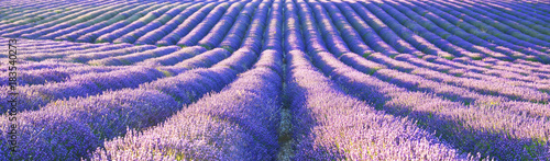 Poster Rose clair / pale View of lavender field