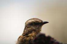 Soft Focus On The Chalk-browed Mockingbird (Mimus Saturninus) Portrait.