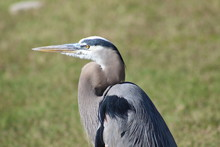 Great Blue Heron Headshot Close-up With Grassy Background