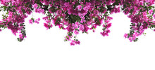 Pink Bougainvillea Flower On W...