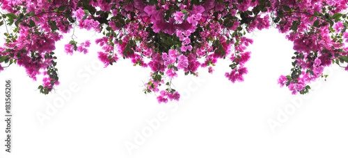Pink Bougainvillea flower on white background.