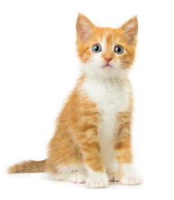 Ginger Kitten On White Background
