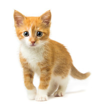 Ginger Kitten On White Backgro...