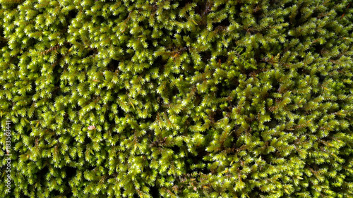 Fototapeten Wald Green moss background, with leafy texture