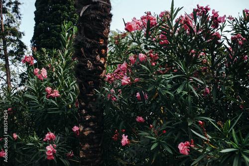 Papiers peints Azalea Bushes of pink azaleas and palms in the garden.