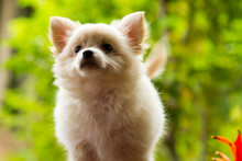 Pomeranian Mixed Breed With Ch...