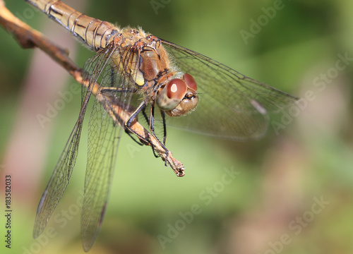 Fotografie, Obraz  A female Common Darter (Sympetrum striolatum), Cornwall, England, UK