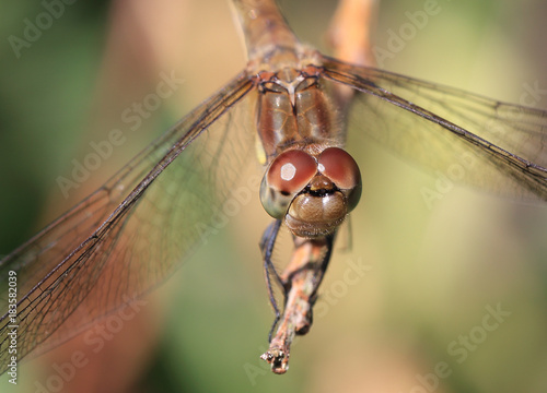 Fotografia, Obraz  Close up on the face of a female Common Darter (Sympetrum striolatum), Cornwall, England, UK