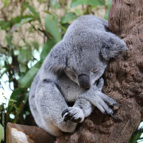 Poster Oceanië a lazy grey koala sleeping on the branch of a tree