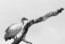 White Backed Vulture (Gyps Afr...