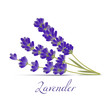 Lavender Flowers. Realistic Elements for Labels of Cosmetic Skin Care Product Design. Vector Isolated Illustration