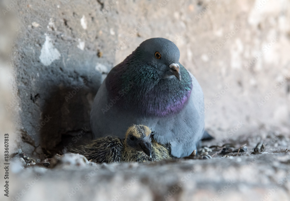 Pigeon with chick