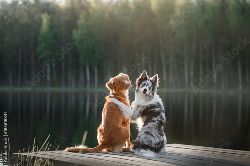 Wallpaper Mural Dog Nova Scotia duck tolling Retriever and the border collie on the river