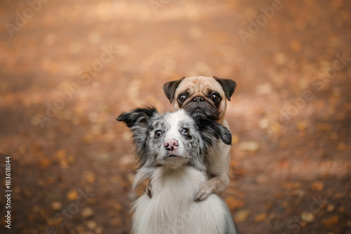 The dog is a pug and a border collie in the Park Wallpaper Mural