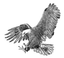 Bald Eagle Swoop Attack Hand D...