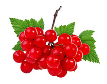 Red Berries Of Viburnum (arrow Wood) Isolated On White Background