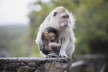 Macaque Monkey Sitting With Baby On Railing