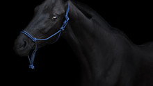 Portrait Of Black Horse Isolated On A Black Background