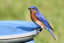 Eastern Bluebird Beating The H...