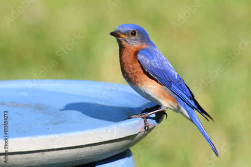 Aufkleber - Eastern Bluebird Beating The Heat