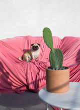 Pug On Pink