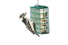 Downy Woodpecker (Picoides Pub...