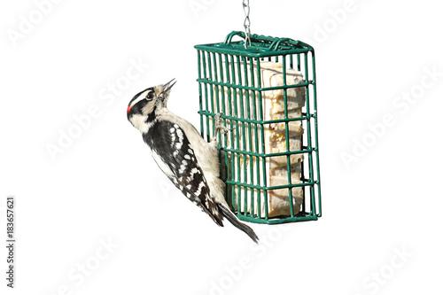 Sticker - Downy Woodpecker (Picoides pubescens)