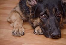 Sad Dog Lying On The Floor And...