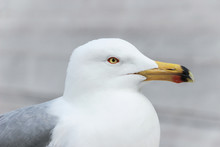 Close Up Of A White Seagull