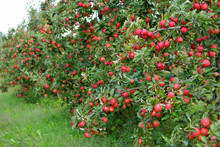 Lots Of Red Apples Hanging Low...