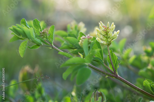 Blooming liquorice milkvetch, Astragalus glycyphyllos Canvas Print