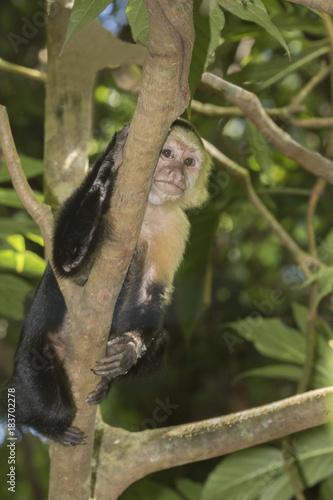 Photo White-headed capuchin (Cebus capucinus)