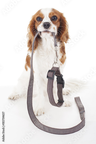 Cute cavalier king charles spaniel dog puppy on isolated white studio background Canvas Print