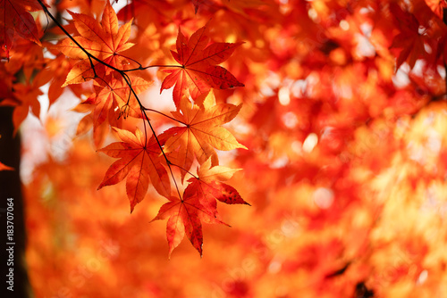 Canvas Prints Orange Glow 紅葉