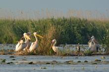 White Pelicans (Pelecanus Onocrotalus) Flock Preening On Floating Island
