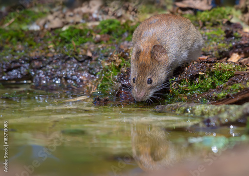 Fotomural  Thirsty Bank vole drinking water at the forest pond