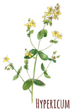 Hypericum Perforatum, Medicinal Plant. Yellow Small Flowers And Green Leaves, Stem. Hand Draw Watercolor Painting, Realistic Botanical Illustration On White Background