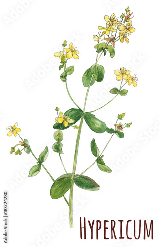 Hypericum Perforatum Medicinal Plant Yellow Small Flowers And