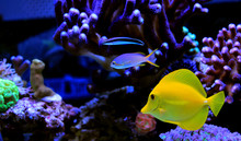 Yellow Tang Swim With Other Fishes In Aquarium Tank